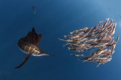 Sailfish Hunting