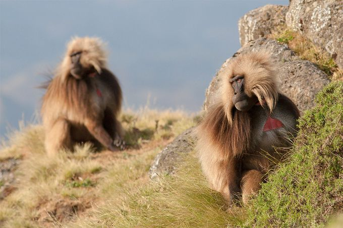 Gelada bachelors by silvanomartincigh - Rule Of Thirds In Nature Photo Contest