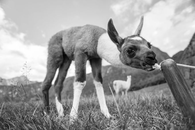 Young Llama by Laska - Animals In Black And White Photo Contest