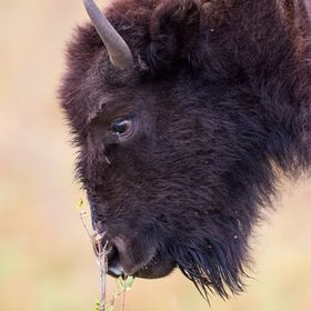 Capturing a tender moment as this Bison takes a moment to smell the shrubbery.