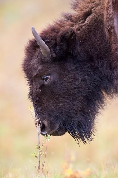 Plains Bison-Tender