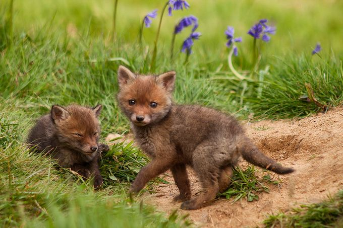 Fox cubs by lregoli - Soft Photo Contest