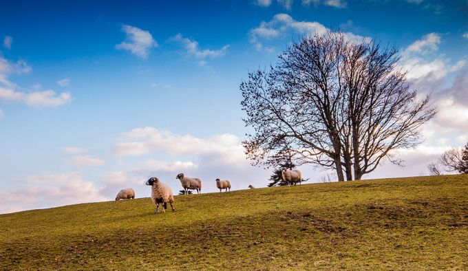 King Of The Hill. by michaelatkinson_5804 - Farms And Barns Animals Photo Contest