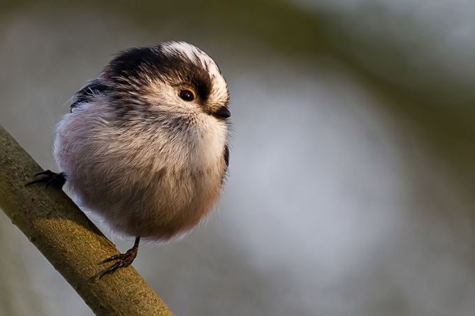 Long tailed tit catching the winter sun by CliveEaton - Rule Of Thirds In Nature Photo Contest