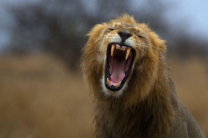 Lion´s yawn on a rainy day by thomasretterath