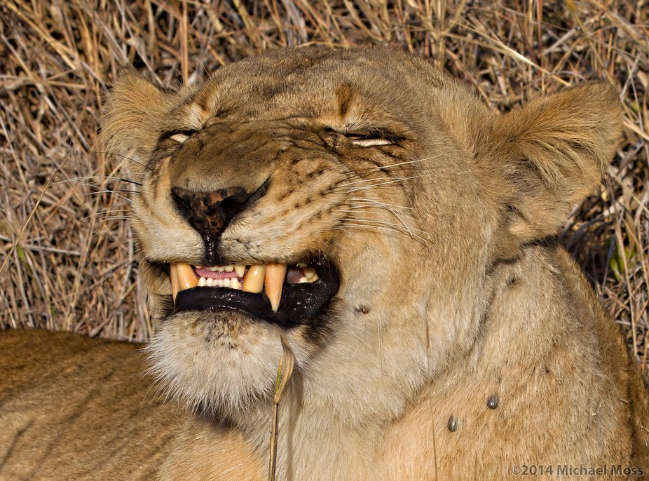 No matter how many times I asked this lioness to say cheese, she just never seemed to get it righ...
