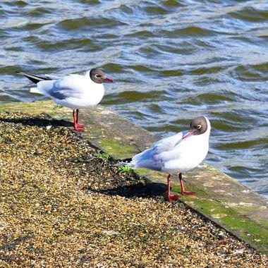 Pair of Black Headed Gulls on river bank.