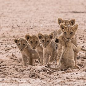 "A ""creche"" of wild lion cubs provided endless entertainment for us in the Kalahari desert. Here one of them hugs their siblings."