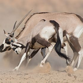 A pair of Gemsbok (Oryx) bulls battle for dominance at a dusty and dry Kalahari waterhole.