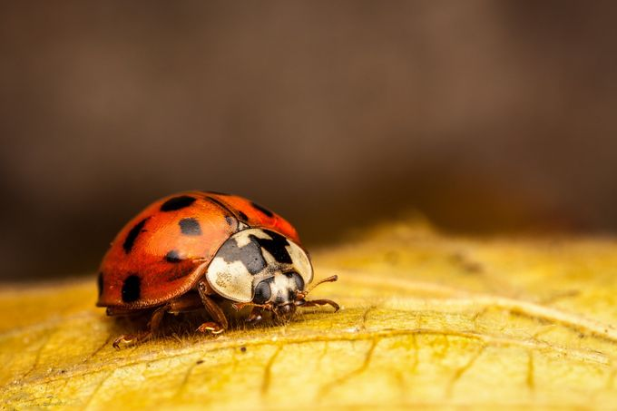Tiny lady bug by nataliadobrescu - It Is Red Photo Contest