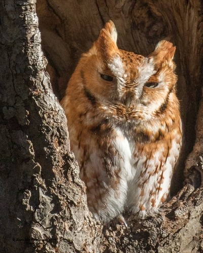 Red Morph Eastern Screech Owl - Eastern MA 03-19-16