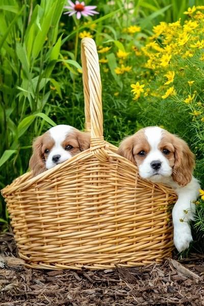 Cavalier puppies