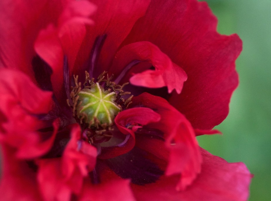Red Poppy Seed