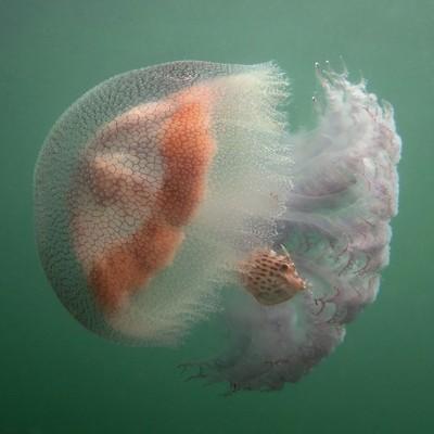 Jellyfish and Leatherjacket