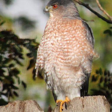 Red Eyed Hawk