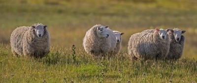 Sheep in morning light