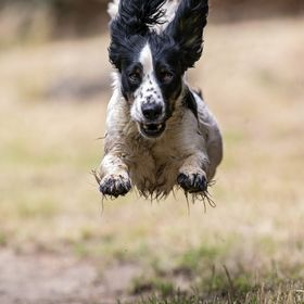 Dog in full flight