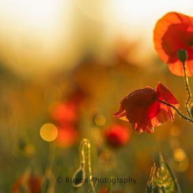 Poppies at last light