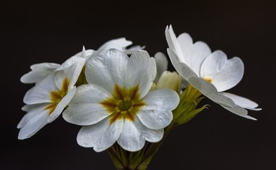 polyanthus sylvia