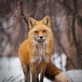 Red fox stands on guard.