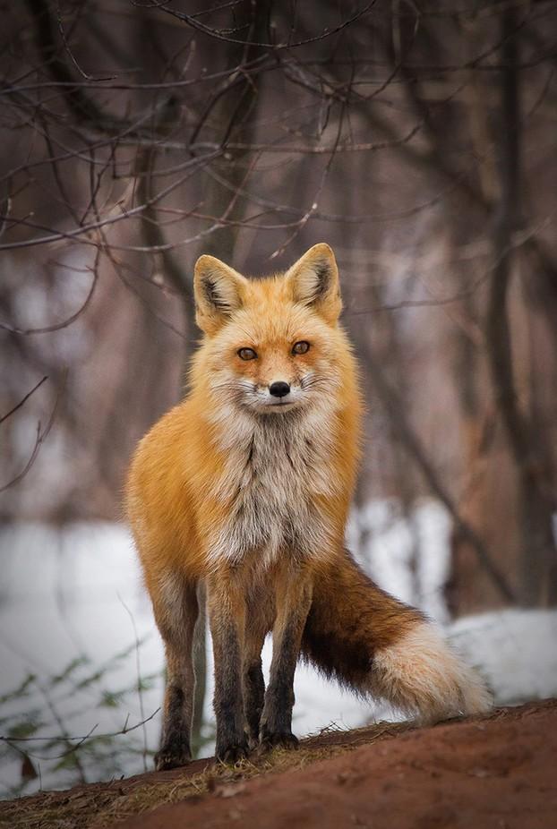 Vixen Fox  by bkcrossman - Monthly Pro Vol 24 Photo Contest