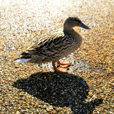 Female Mallard Duck with shadow.