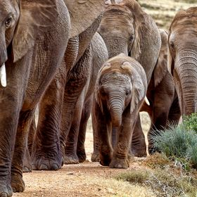 The African Elephant family walks together to water in Addo Elephant National Park in South Africa