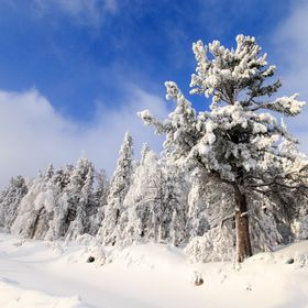 pine trees in snow, russian winter, outdoor, snowy pines in sunny day