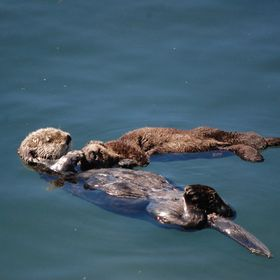 Seen this in the Bay at Morro Bay.  This is a love a mother show to her baby.
