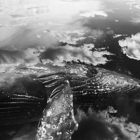 Clouds reflect on the waters glassy surface perfectly framing this juvenile humpback as looks up at me.