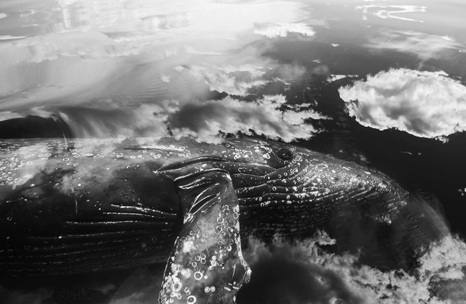 Curious Humpback  by Orphic - The Water In Black And White Photo Contest