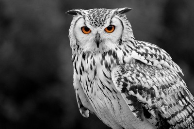Eagle Owl standing