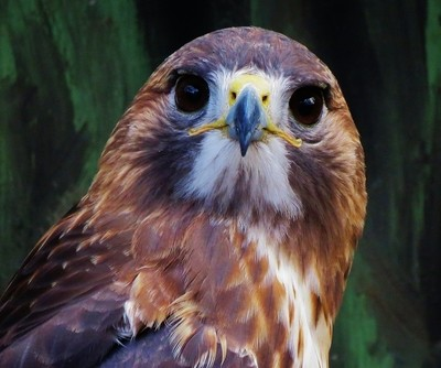 red-tailed hawk wondering about me