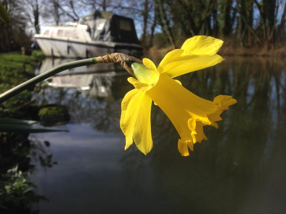 Daffodil by the water
