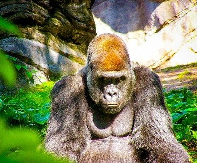Gorilla at the Animal Kingdom in Walt Disney World