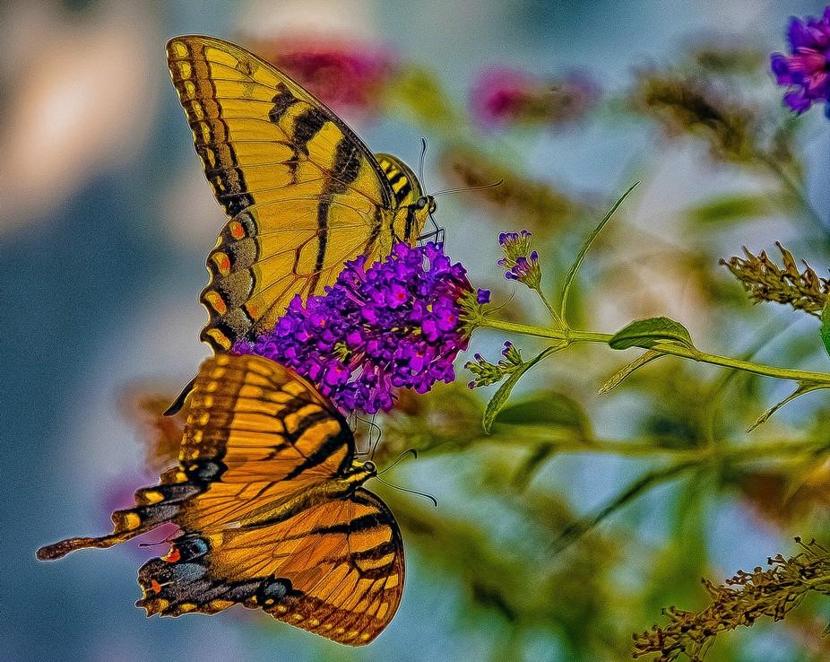 Butterflies Enjoying Butterfly Bush