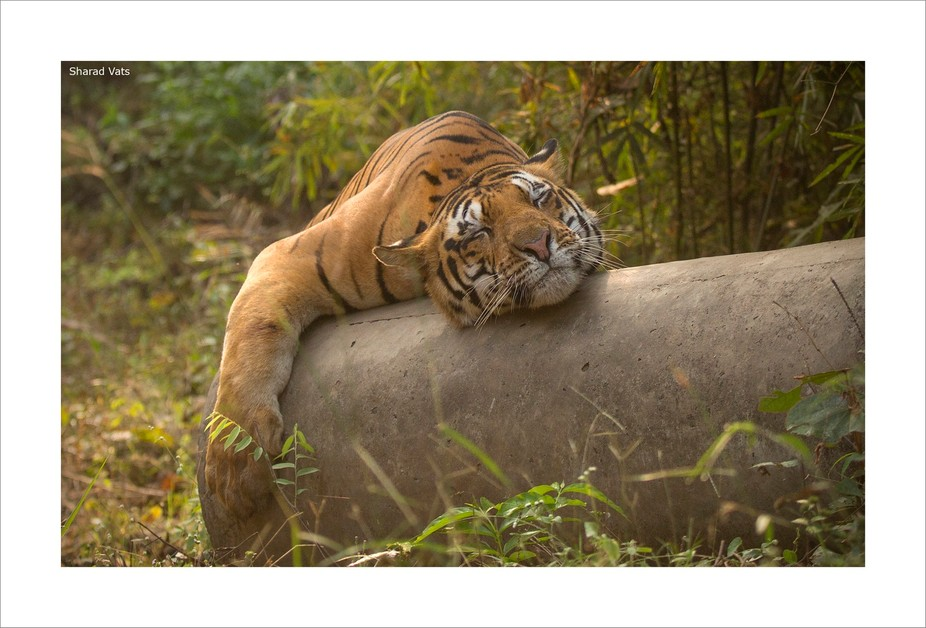 Seems like siesta time, but this male Tiger was marking his territory on this pipe. The adult Tig...