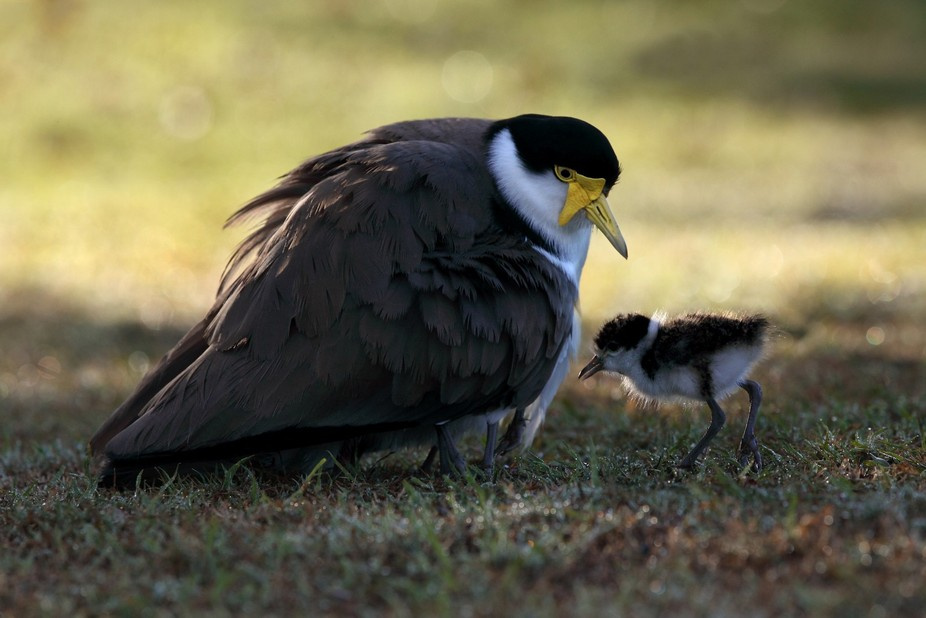 Lapwing chicks