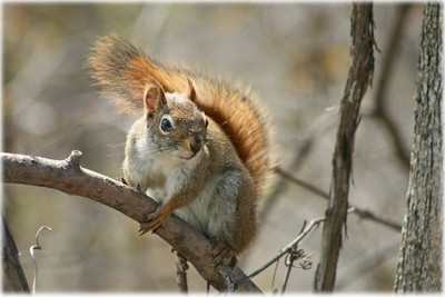Red Squirrel 8183