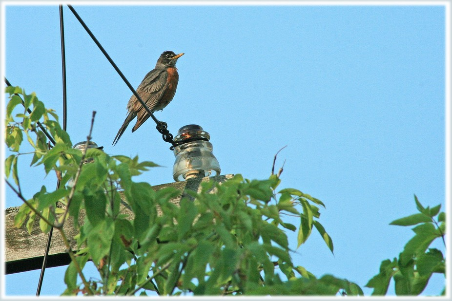 The bit of his red breast reflected in the old insulator is what I find most attractive in this p...