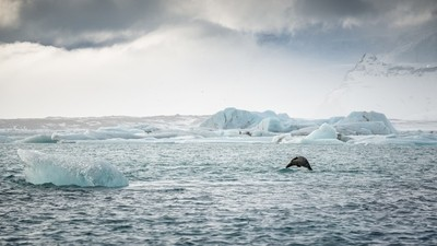 Leaping Seal, Glacial Lagoon, Iceland