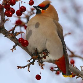 A bohemian waxwing captured on a cold winter day.  The air was crisp, the light perfect to photograph it during its migration.  http://www.istock...