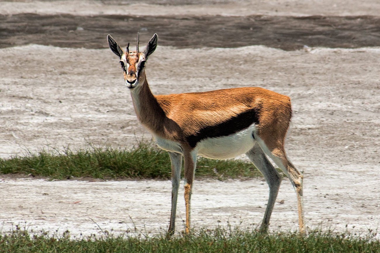 A female Thomson's gazelle on the shore of Lake Nakuru, Kenya. The abdominal distention suggests that she is pregnant.