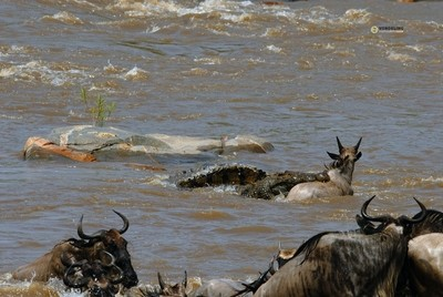 Crocodile attack, Mara river