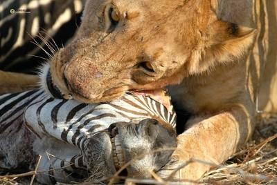 Lioness feeding on Zebra Ruaha