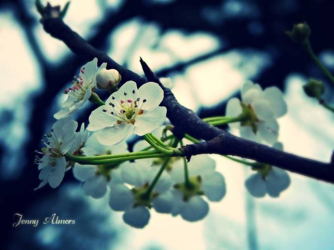Blooms on a Pear Tree 2