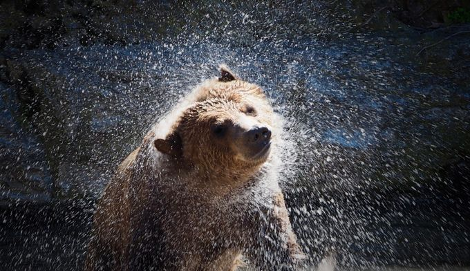 Shake it Off! by Judy_zehentner - Bears Photo Contest