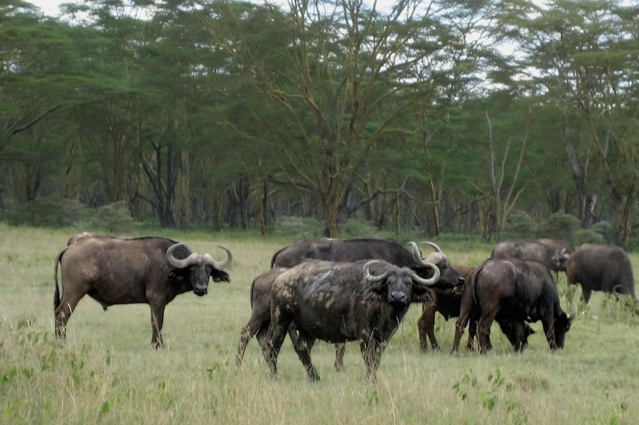 Herd of buffalo grazing near Lake Nakuru, Kenya.