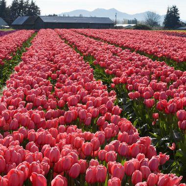 Rows of tulips at a farm ay Mt. Vernon, Washington.