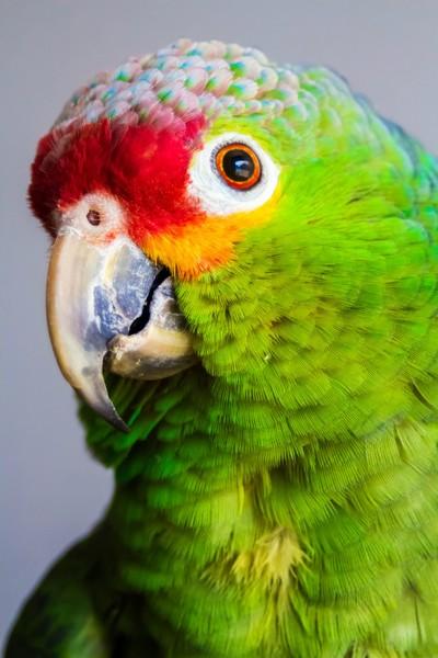 Coconut - Red-Lored Amazon 03